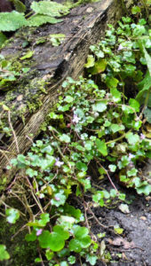 Ivy-leaved Toadflax at path's edge