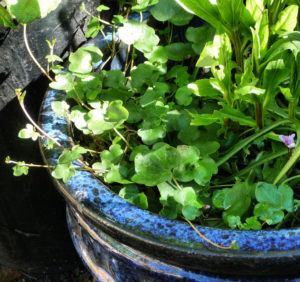 Ivy-leaved Toadflax in blue container clarified