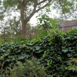 Ivy wall, Male Fern in front and Ash behind.jpg