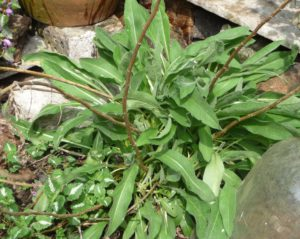 knapweed-leaves-in-spring