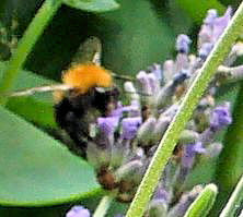 Lavender, Bumblebee
