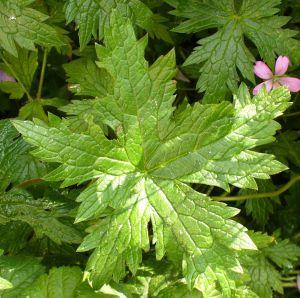 Leaf, Hardy G Wargrave Pink