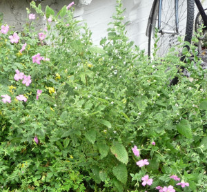 Lemon Balm with Hardy Geranium, front garden