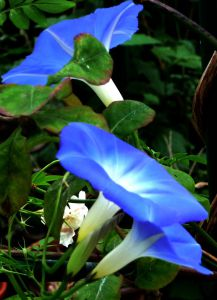 MGs -three Morning Glories on rose arch