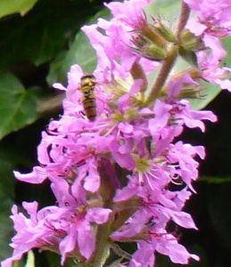 Marmalade Hoverfly, Purple Loosestrife