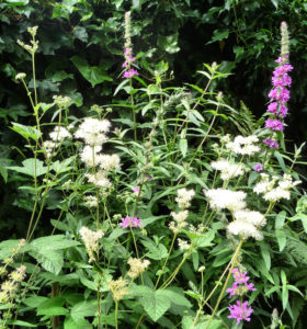 Meadowsweet and Purple Loosestrife