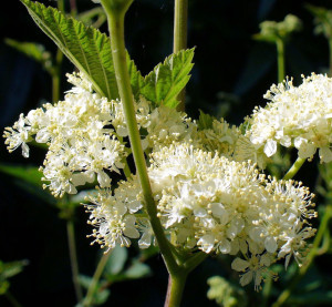 Meadowsweet enhanced