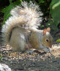 Mother Squirrel in sunlight eating seeds