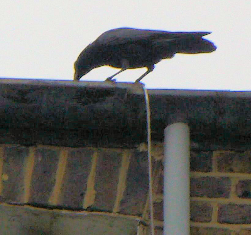 No 2 Crow on the roof, Summer Solstice