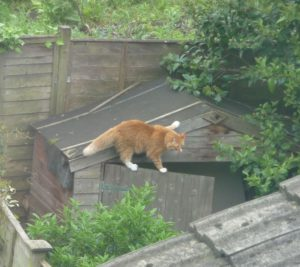 orange-cat-getting-into-shed