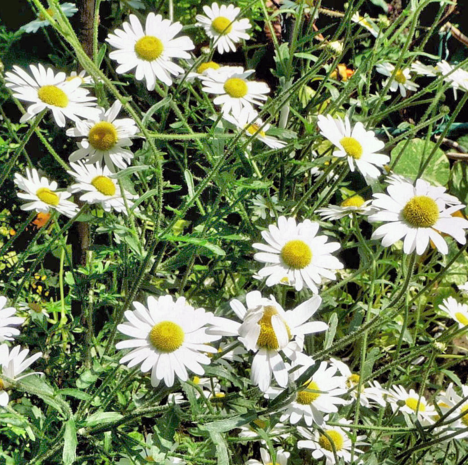 Oxeye Daisies, clarified