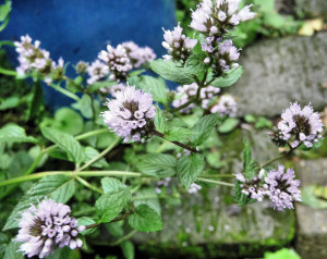 PEPPERMINT FLOWERS clarified