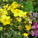 Potentilla, Chinese Foxglove with Bumblebee