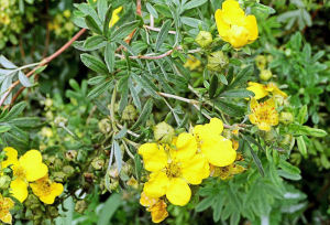 Potentilla fl sharpen