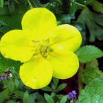 Potentilla flower NO HOLES