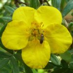 Potentilla flower w mystery bug