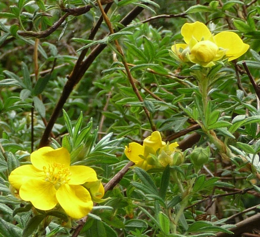 Potentilla flowers