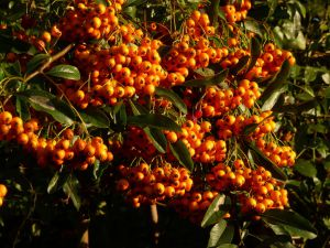 Pyracantha berries in sunshine