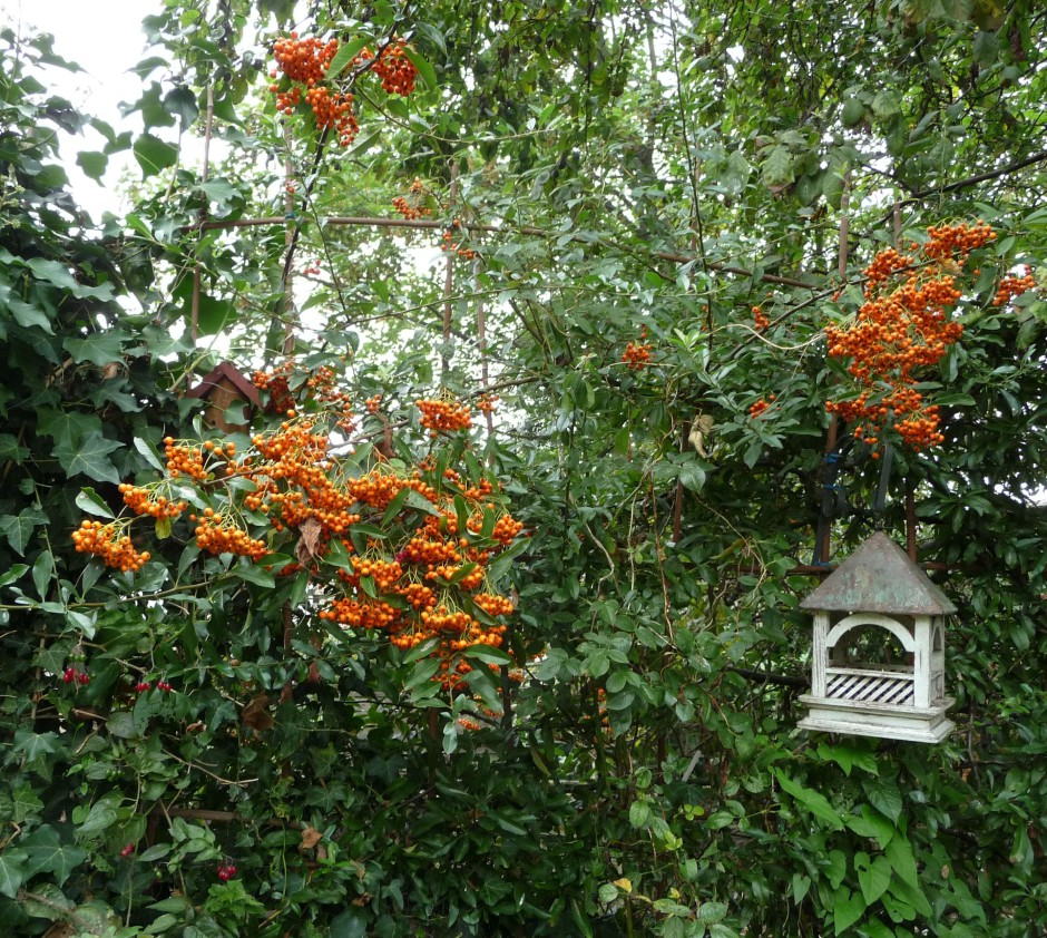 Pyracantha berries on RF trellis, Bempton feeder