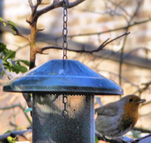 Robin, metal mesh feeder clarified