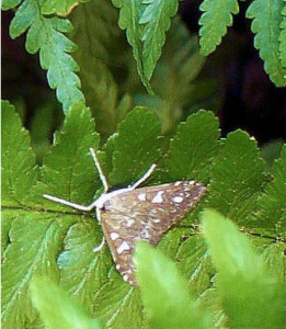 Row 1 No 2 Mint Moth in fern bed