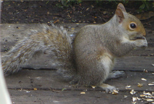 Row 2 No 1 Squirrel shelling sunflower seeds 2014