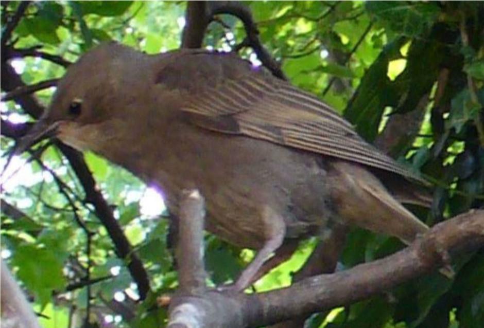 row 2 no 4 young spotless starling