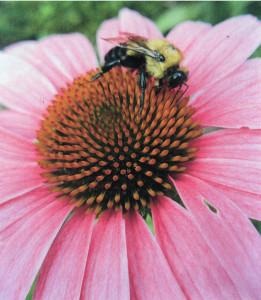 SB'S Big Coneflwr with Bumblebee, enhanced