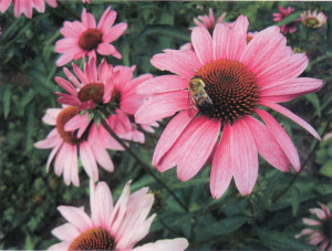 SB'S Philadelphia Coneflowers and Bumblebee