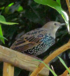 starling-grey-head-trellis-zoom