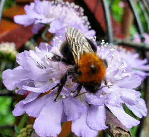 Scabious, Bumblebee