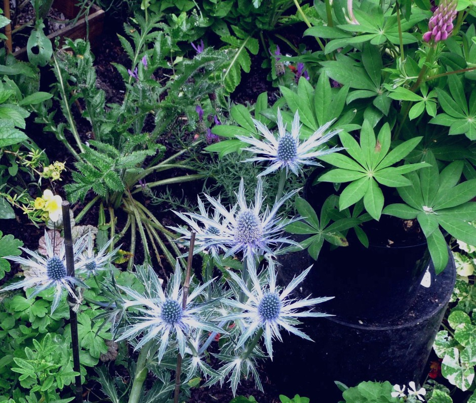 Sea Holly (Eryngium), Lupin, Oriental Poppy foliage
