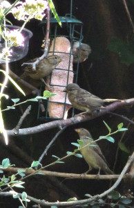 Sparrows on suet feeder