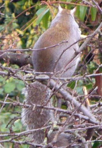 Squirrel, pear-shaped and cropped
