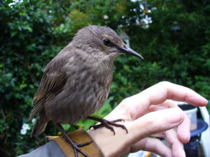 starling-fledgie-blk-legs-on-hand