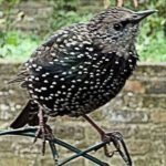 starling-on-chainlink-fence