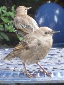 1. starling-youngsters-on-blue-table-close-crop