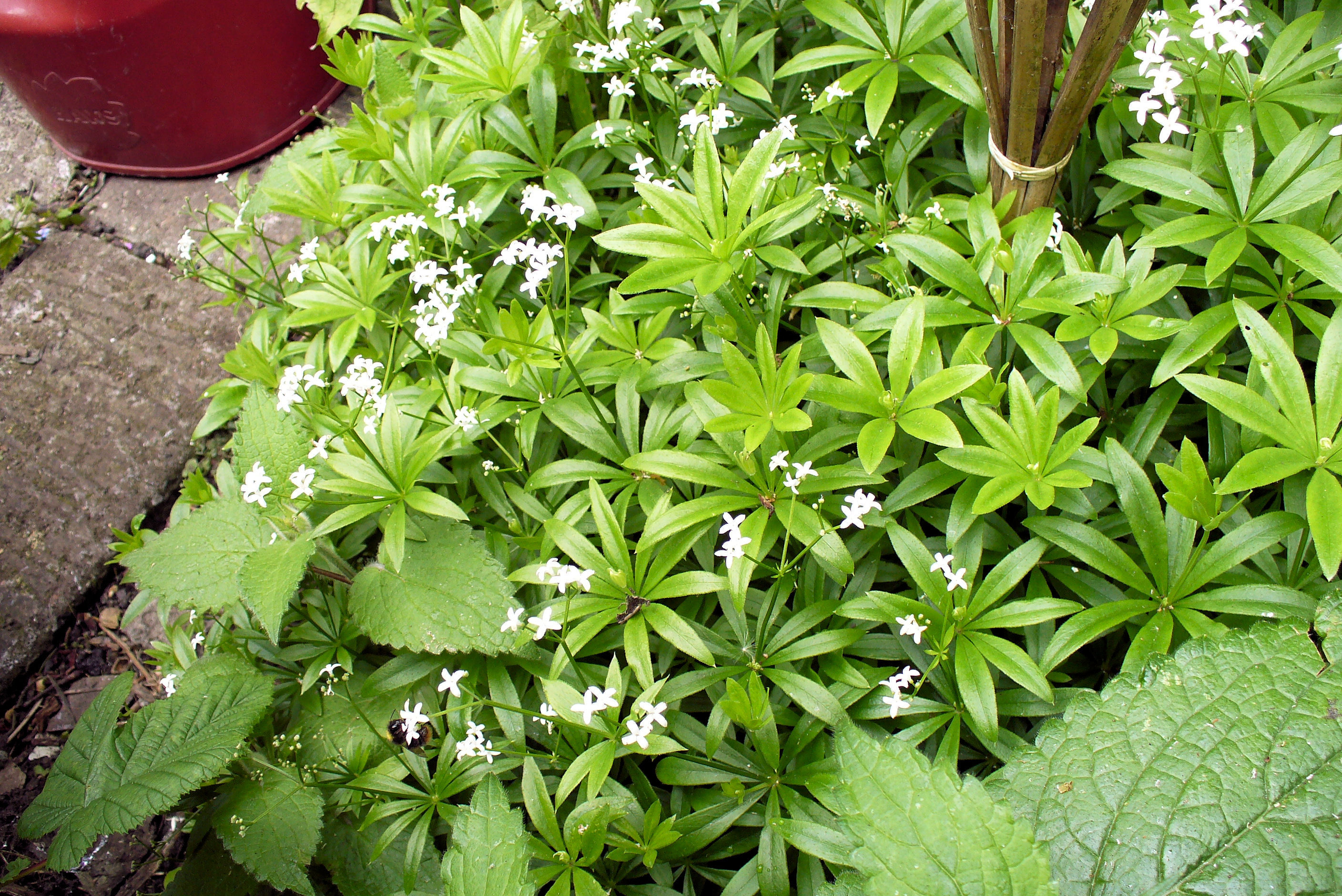 sweet woodruff galium odoratum highbury wildlife. Black Bedroom Furniture Sets. Home Design Ideas
