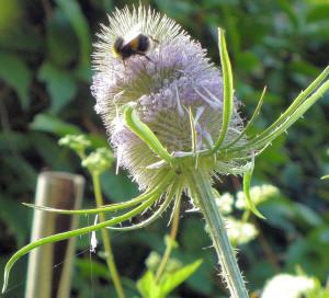 Teasel, Bumblebee