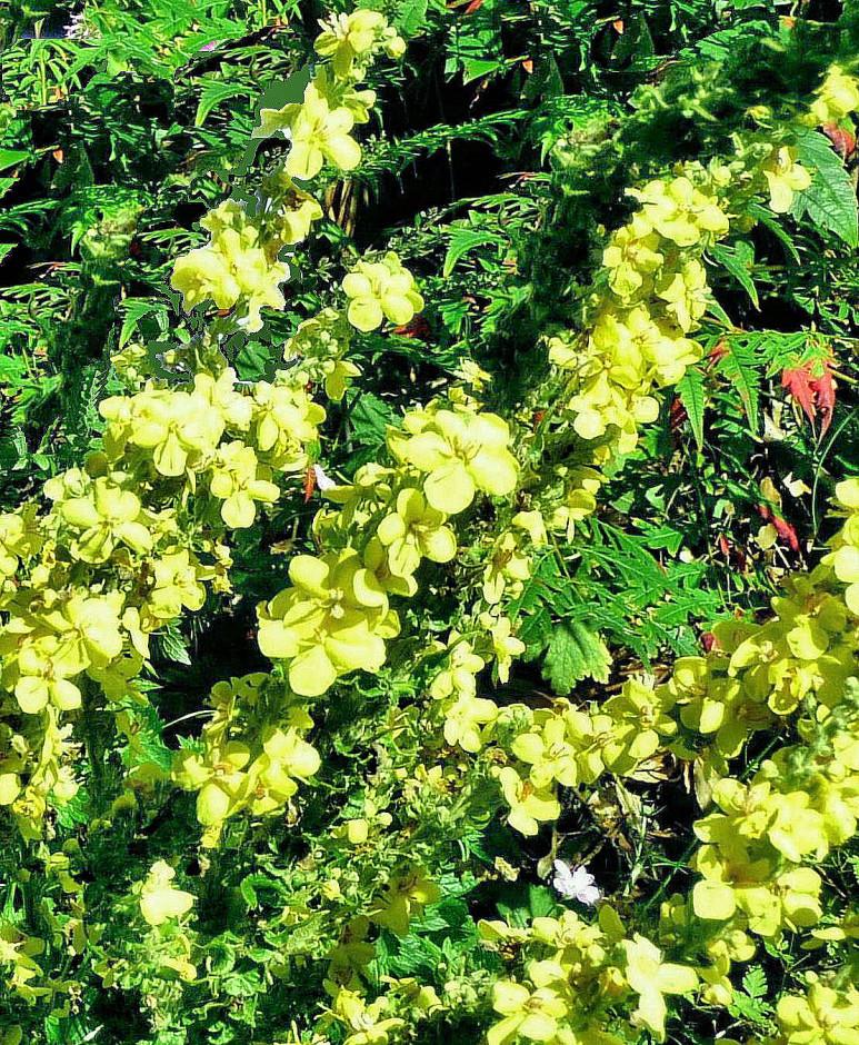 Verbascum Olympicum, sharpen