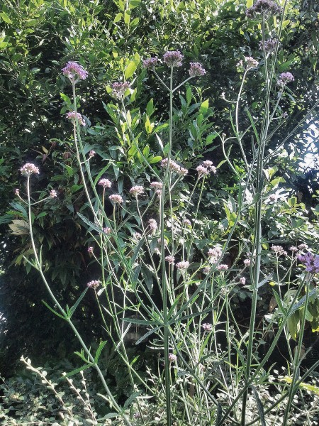 Verbena Bonariensis, Highbury Wildlife Gdn 2014