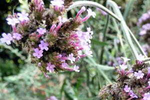 Verbena Bonariensis flowers close up