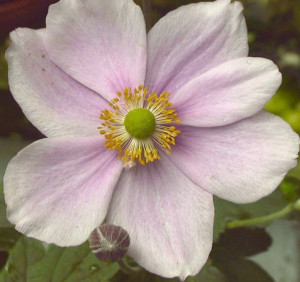 WEBSITE - Japanese Anemone close-up