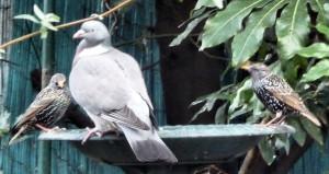 Woodpigeon, Starlings on birdbath
