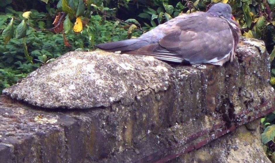 Woodpigeon at rest