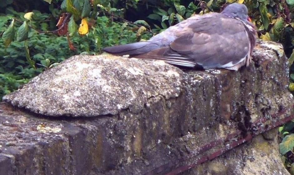 Woodpigeon at rest