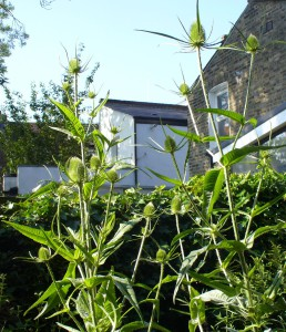Young Teasels in sunshine