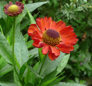 best Helenium Ruby Charm