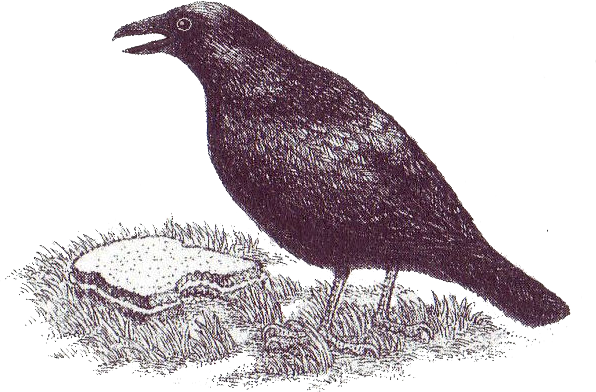 crow-illustration