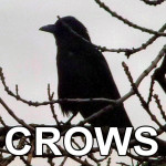 crows-icon-new